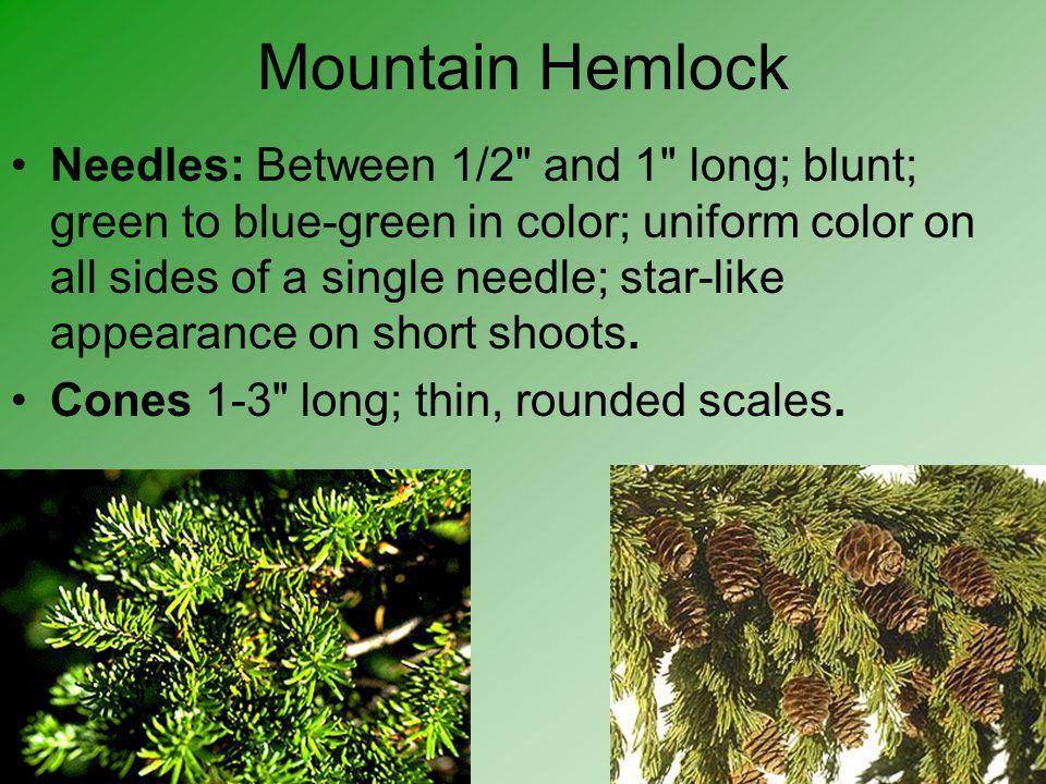 Mountain Hemlock Needles: Between 1/2