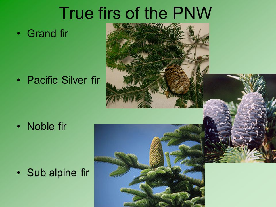 True firs of the PNW Grand fir Pacific Silver fir Noble fir Sub alpine fir