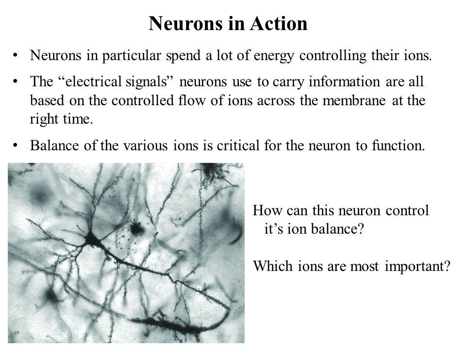 """Neurons in particular spend a lot of energy controlling their ions. The """"electrical signals"""" neurons use to carry information are all based on the con"""