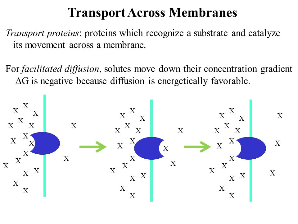 Transport Across Membranes Transport proteins: proteins which recognize a substrate and catalyze its movement across a membrane. For facilitated diffu