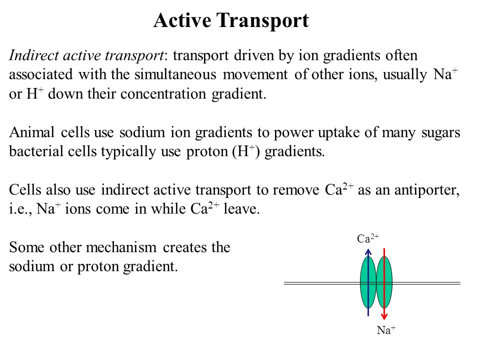 Active Transport Indirect active transport: transport driven by ion gradients often associated with the simultaneous movement of other ions, usually N