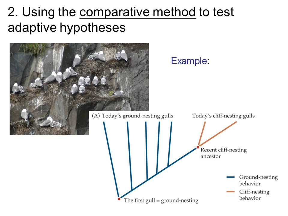 2. Using the comparative method to test adaptive hypotheses Example:
