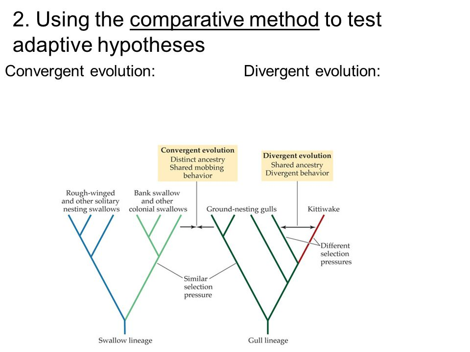2. Using the comparative method to test adaptive hypotheses Convergent evolution:Divergent evolution: