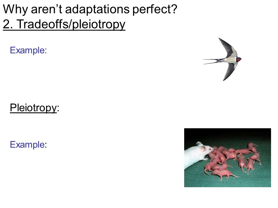 Pleiotropy: Example: Why aren't adaptations perfect 2. Tradeoffs/pleiotropy Example: