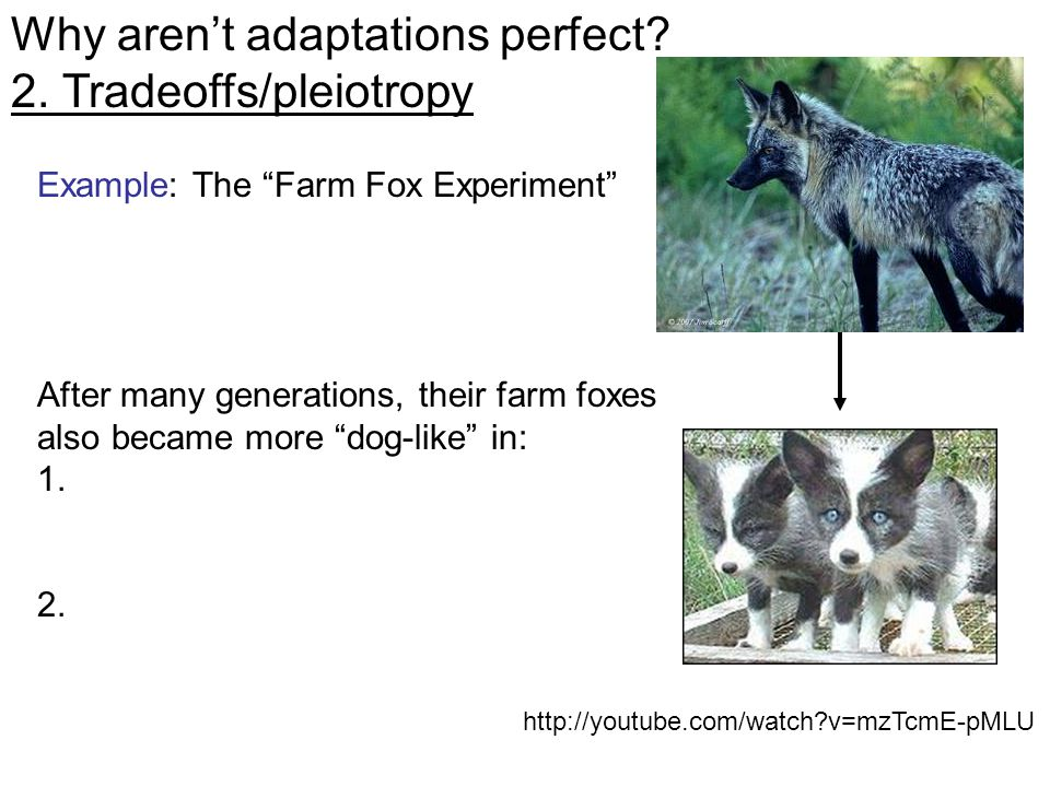 http://youtube.com/watch v=mzTcmE-pMLU Example: The Farm Fox Experiment After many generations, their farm foxes also became more dog-like in: 1.