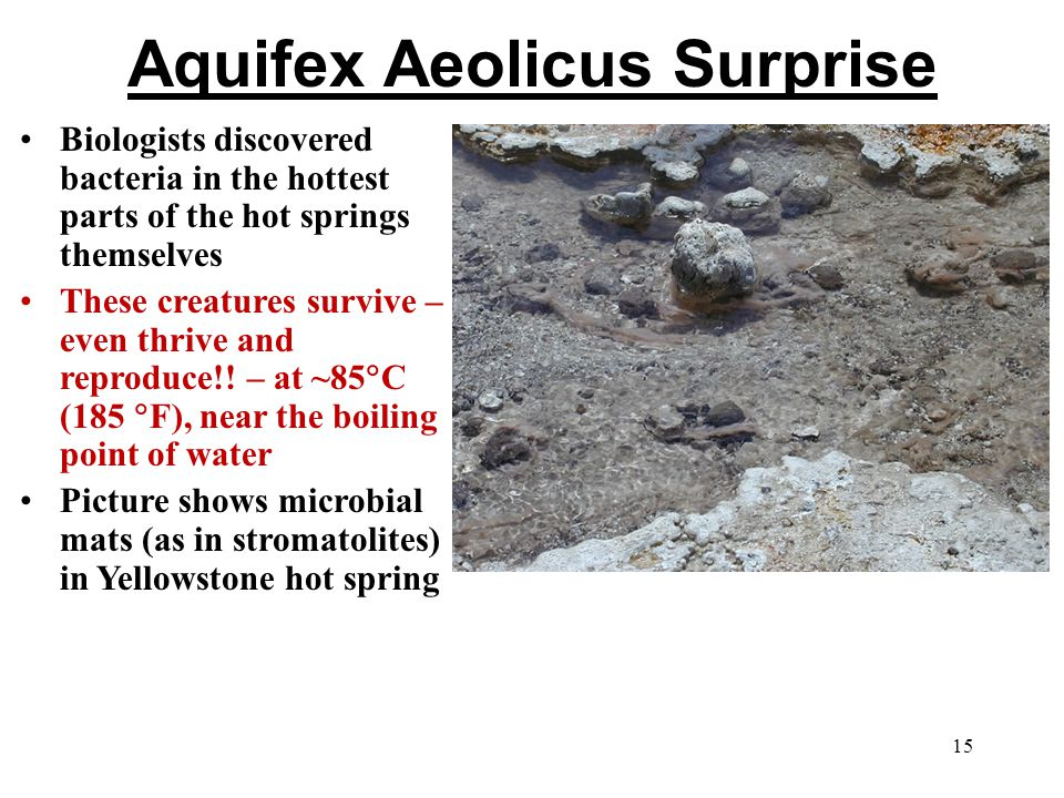 Aquifex Aeolicus Surprise Biologists discovered bacteria in the hottest parts of the hot springs themselves These creatures survive – even thrive and reproduce!.