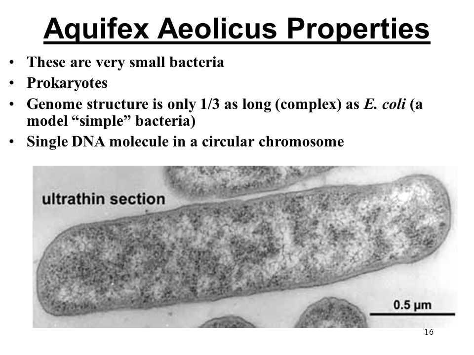 Aquifex Aeolicus Properties These are very small bacteria Prokaryotes Genome structure is only 1/3 as long (complex) as E.