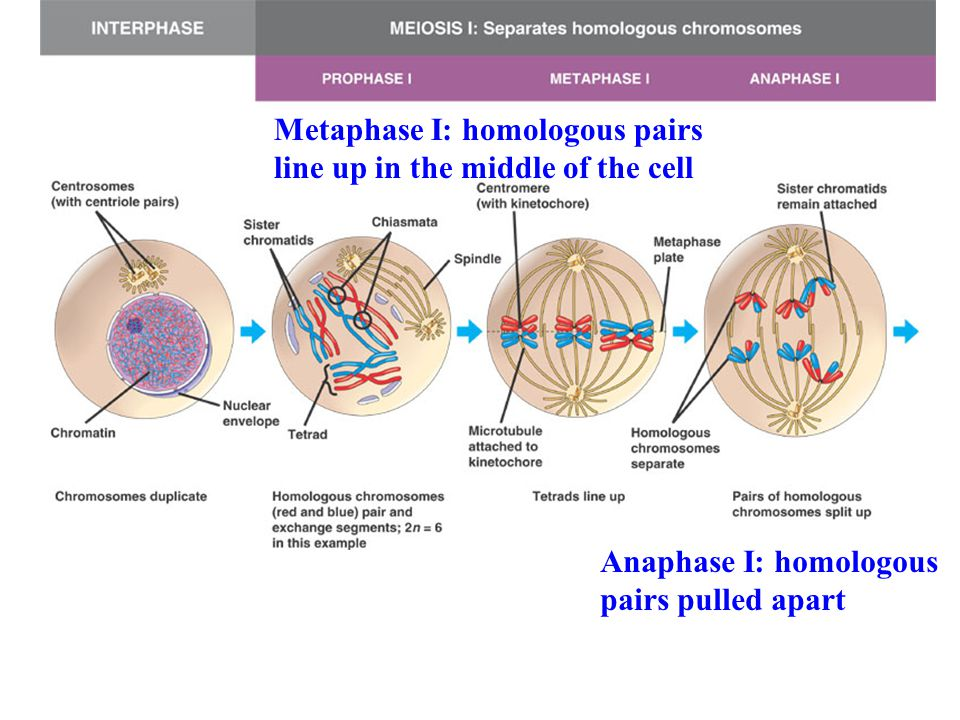 Metaphase I: homologous pairs line up in the middle of the cell Anaphase I: homologous pairs pulled apart