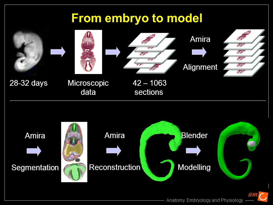 Anatomy, Embryology and Physiology Alignment From embryo to model Amira Microscopic data 28-32 days 42 – 1063 sections Amira Segmentation Amira Reconstruction Modelling Blender