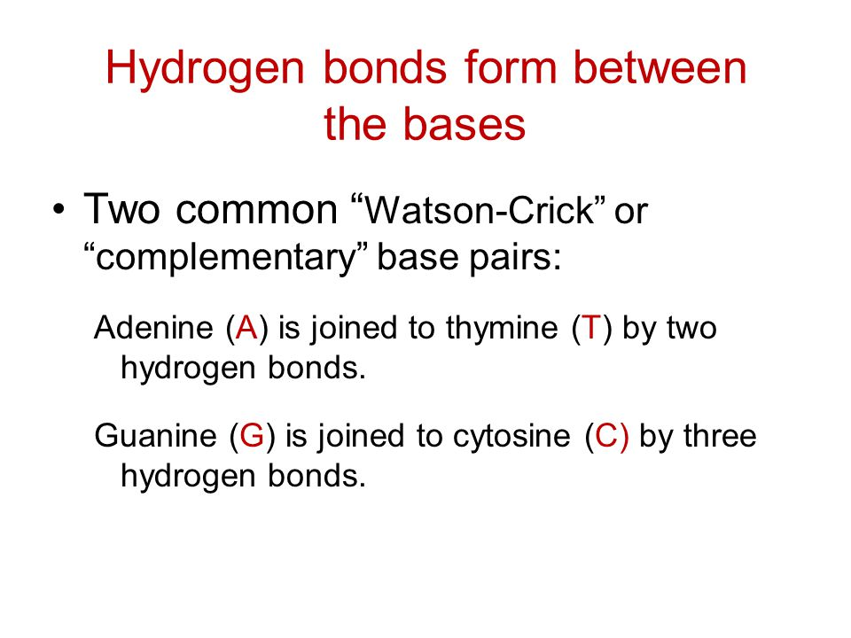 """Hydrogen bonds form between the bases Two common """" Watson-Crick"""" or """"complementary"""" base pairs: Adenine (A) is joined to thymine (T) by two hydrogen b"""