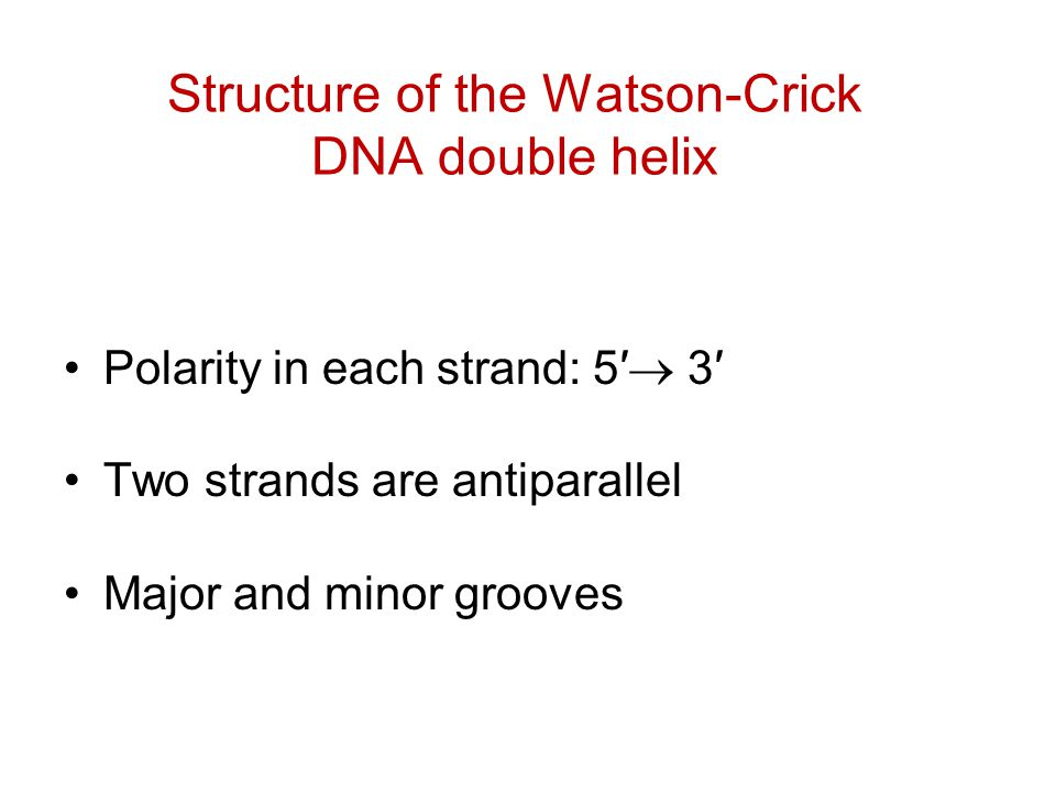 Structure of the Watson-Crick DNA double helix Polarity in each strand: 5′  3′ Two strands are antiparallel Major and minor grooves