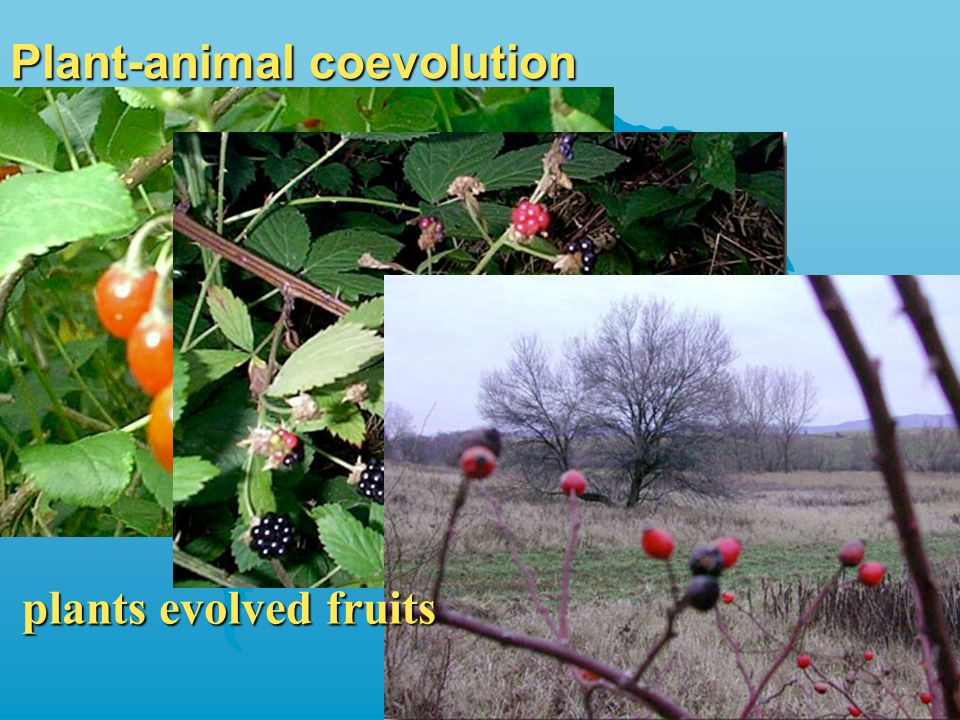 Plant-animal coevolution plants evolved fruits