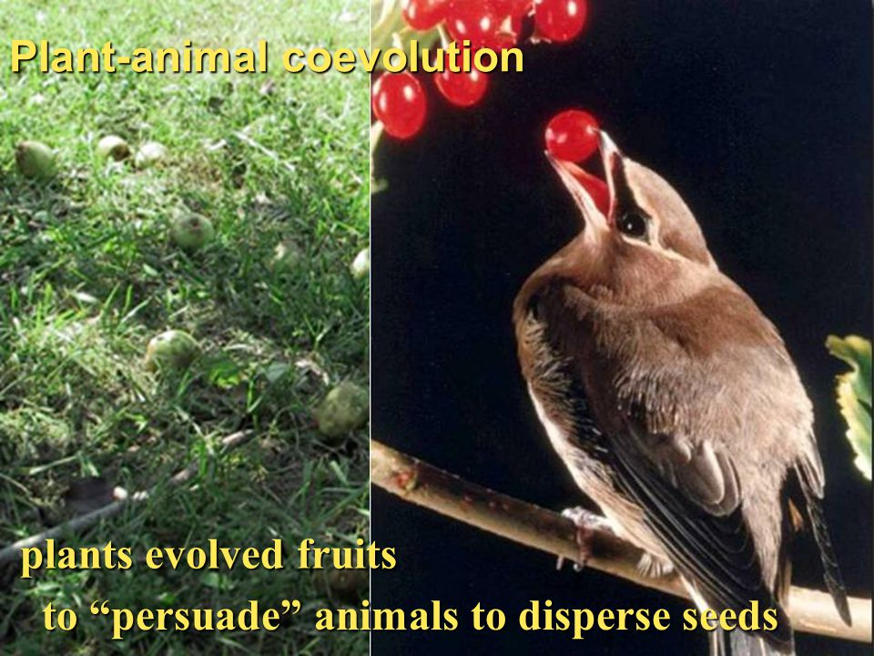 Plant-animal coevolution plants evolved fruits to persuade animals to disperse seeds