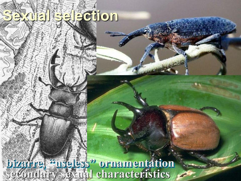Sexual selection bizarre, useless ornamentation secondary sexual characteristics