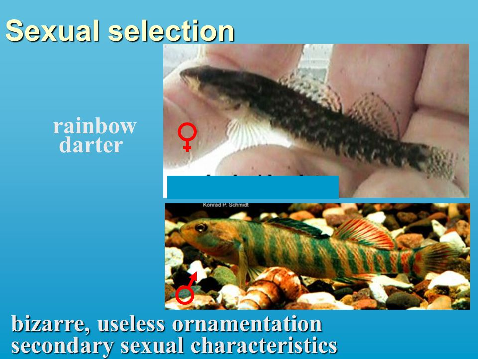Sexual selection bizarre, useless ornamentation secondary sexual characteristics rainbow darter