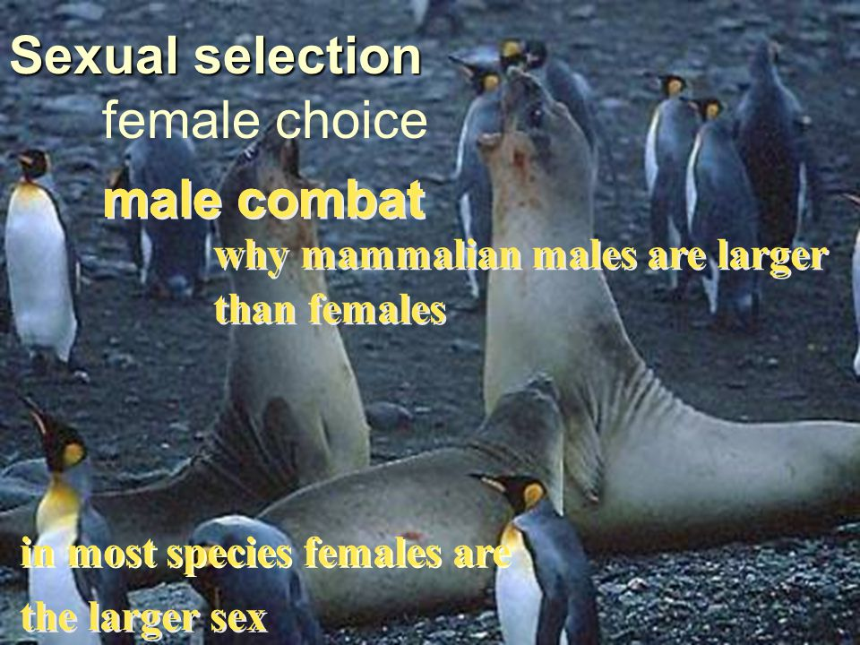 female choice Sexual selection male combat why mammalian males are larger than females in most species females are the larger sex male combat