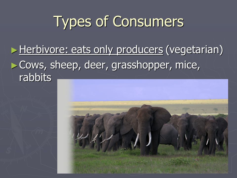 Types of Consumers ► Herbivore: eats only producers (vegetarian) ► Cows, sheep, deer, grasshopper, mice, rabbits