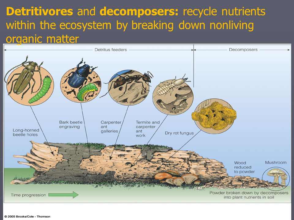 Detritivores and decomposers: recycle nutrients within the ecosystem by breaking down nonliving organic matter