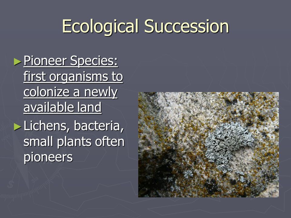 Ecological Succession ► Pioneer Species: first organisms to colonize a newly available land ► Lichens, bacteria, small plants often pioneers