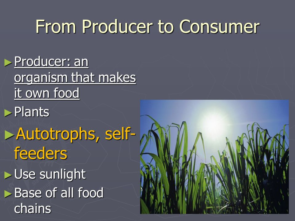 From Producer to Consumer ► Producer: an organism that makes it own food ► Plants ► Autotrophs, self- feeders ► Use sunlight ► Base of all food chains