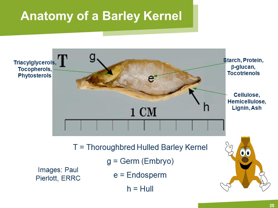 Apply name/department/presentation title in header and footer 25 Anatomy of a Barley Kernel T = Thoroughbred Hulled Barley Kernel g = Germ (Embryo) e = Endosperm h = Hull Images: Paul Pierlott, ERRC Starch, Protein,  -glucan, Tocotrienols Triacylglycerols, Tocopherols, Phytosterols Cellulose, Hemicellulose, Lignin, Ash