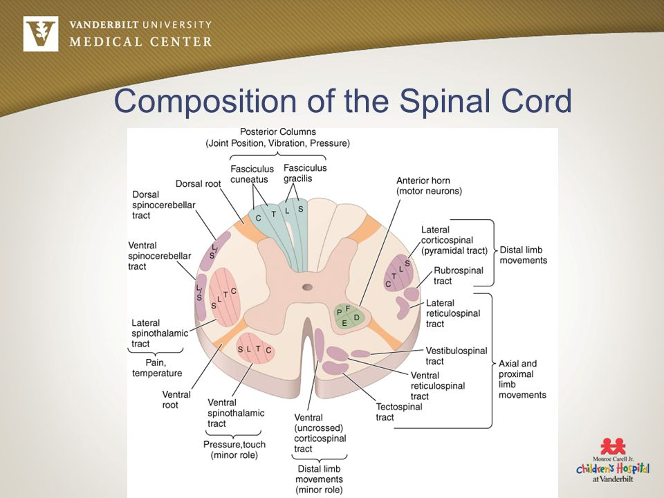 Composition of the Spinal Cord