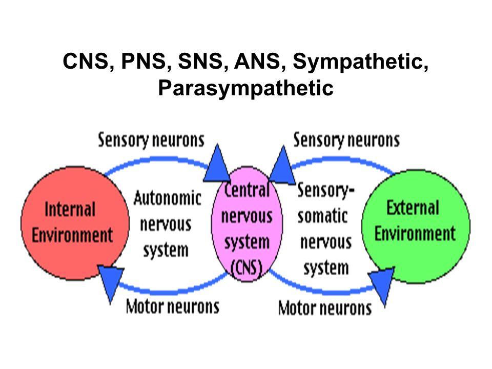 CNS, PNS, SNS, ANS, Sympathetic, Parasympathetic
