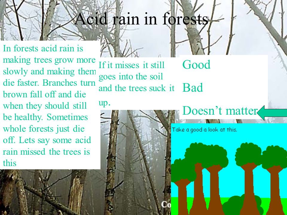 Acid rain in forests In forests acid rain is making trees grow more slowly and making them die faster. Branches turn brown fall off and die when they