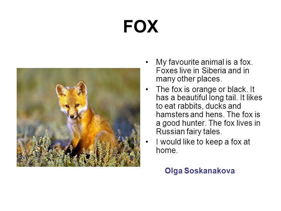 FOX My favourite animal is a fox. Foxes live in Siberia and in many other places. The fox is orange or black. It has a beautiful long tail. It likes t