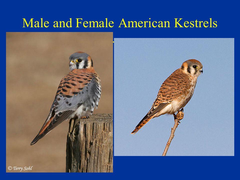 Male and Female American Kestrels