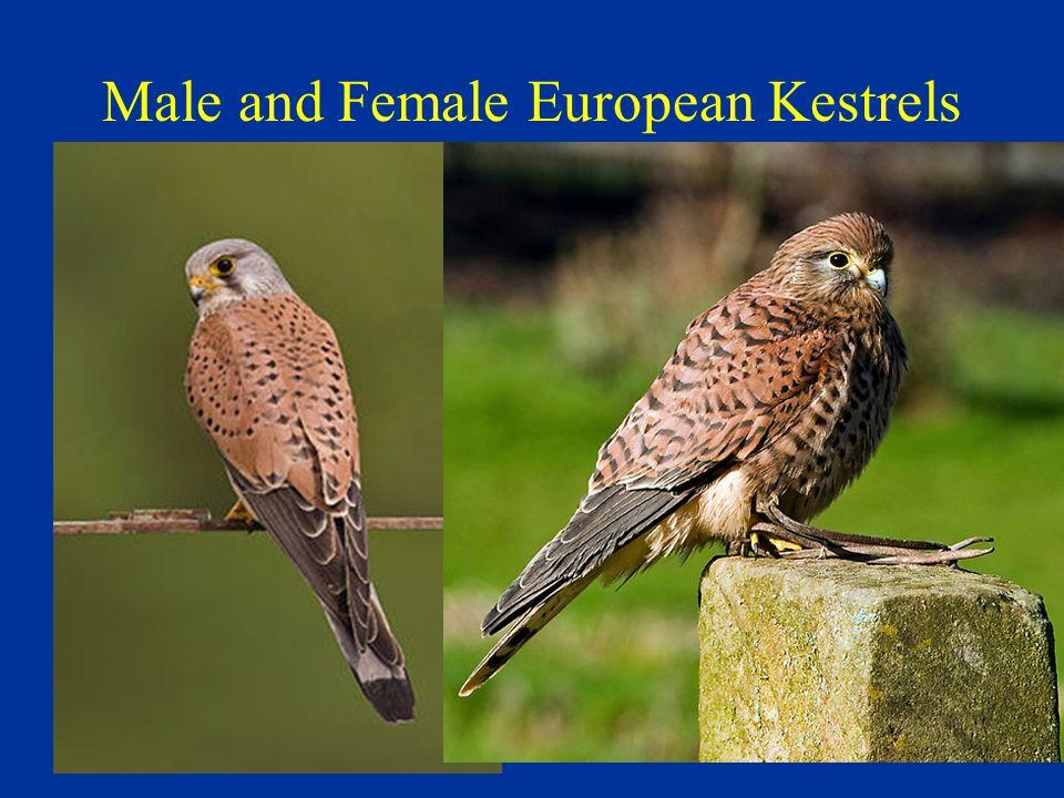 Male and Female European Kestrels