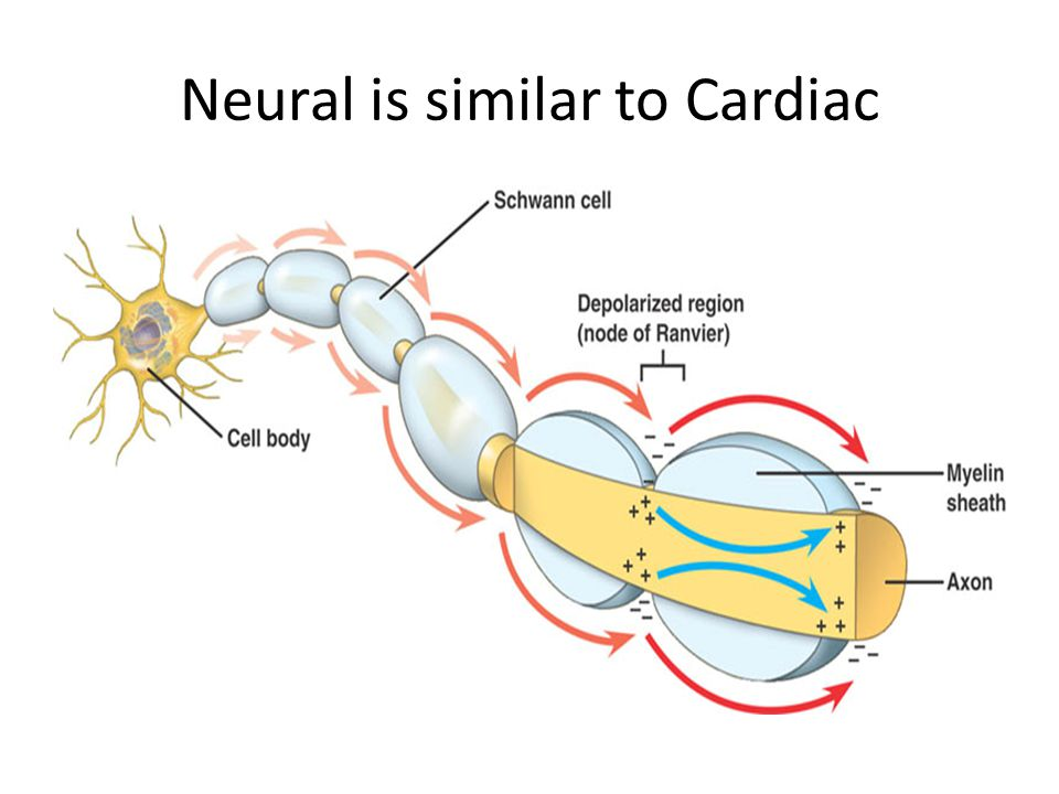 Neural is similar to Cardiac