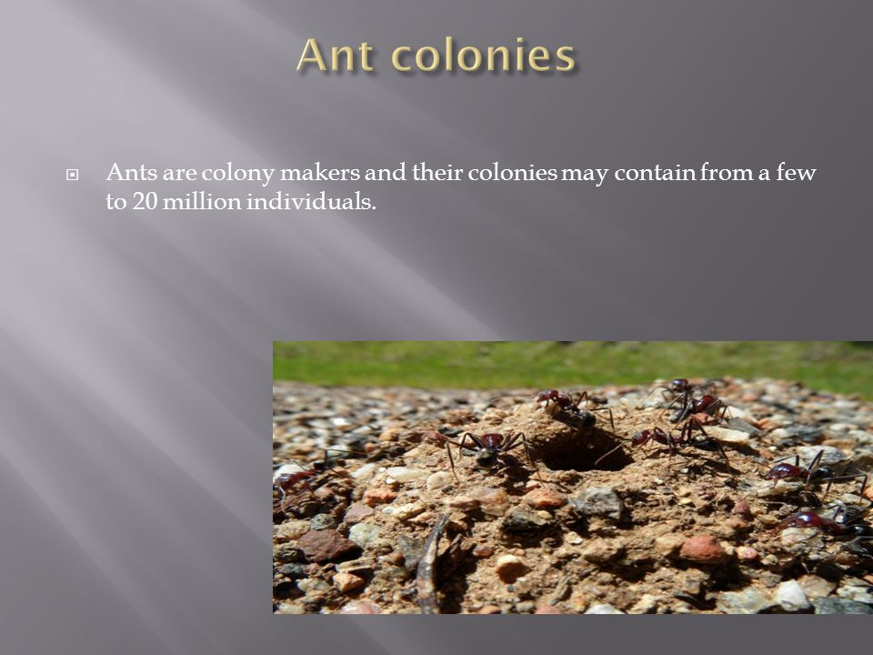  Ants are colony makers and their colonies may contain from a few to 20 million individuals.