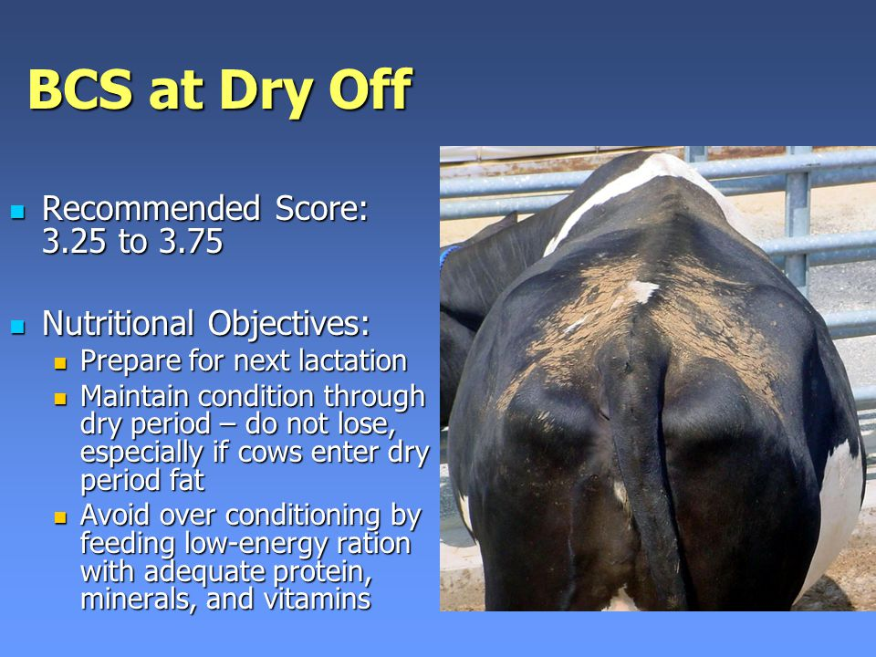 BCS at Dry Off Recommended Score: 3.25 to 3.75 Recommended Score: 3.25 to 3.75 Nutritional Objectives: Nutritional Objectives: Prepare for next lactation Prepare for next lactation Maintain condition through dry period – do not lose, especially if cows enter dry period fat Maintain condition through dry period – do not lose, especially if cows enter dry period fat Avoid over conditioning by feeding low-energy ration with adequate protein, minerals, and vitamins Avoid over conditioning by feeding low-energy ration with adequate protein, minerals, and vitamins