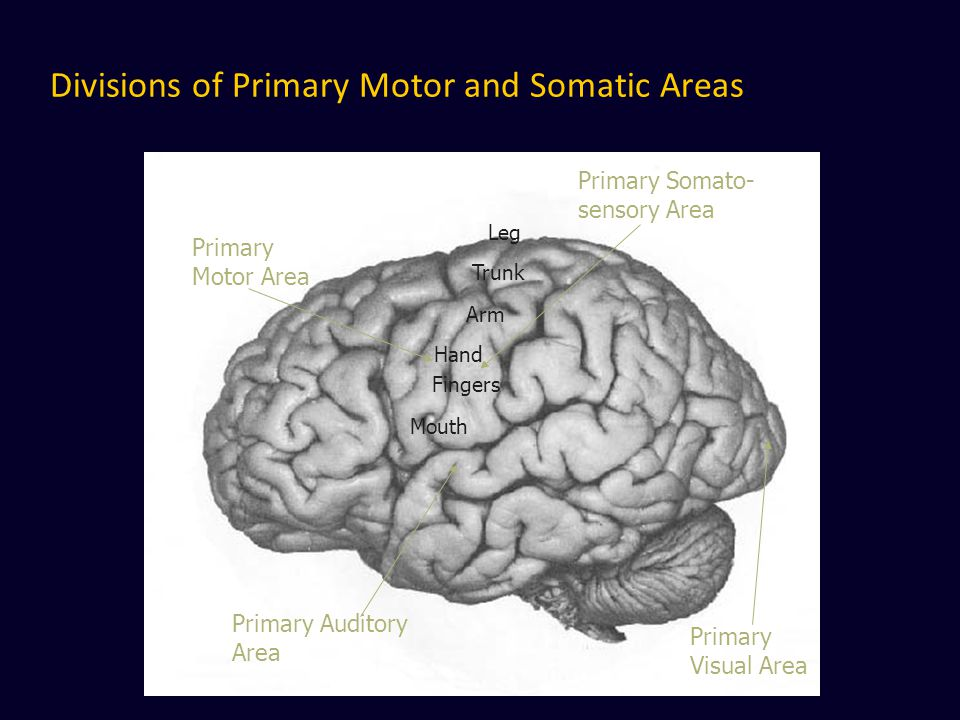 Divisions of Primary Motor and Somatic Areas Primary Somato- sensory Area Primary Motor Area Primary Auditory Area Primary Visual Area Mouth Hand Fing
