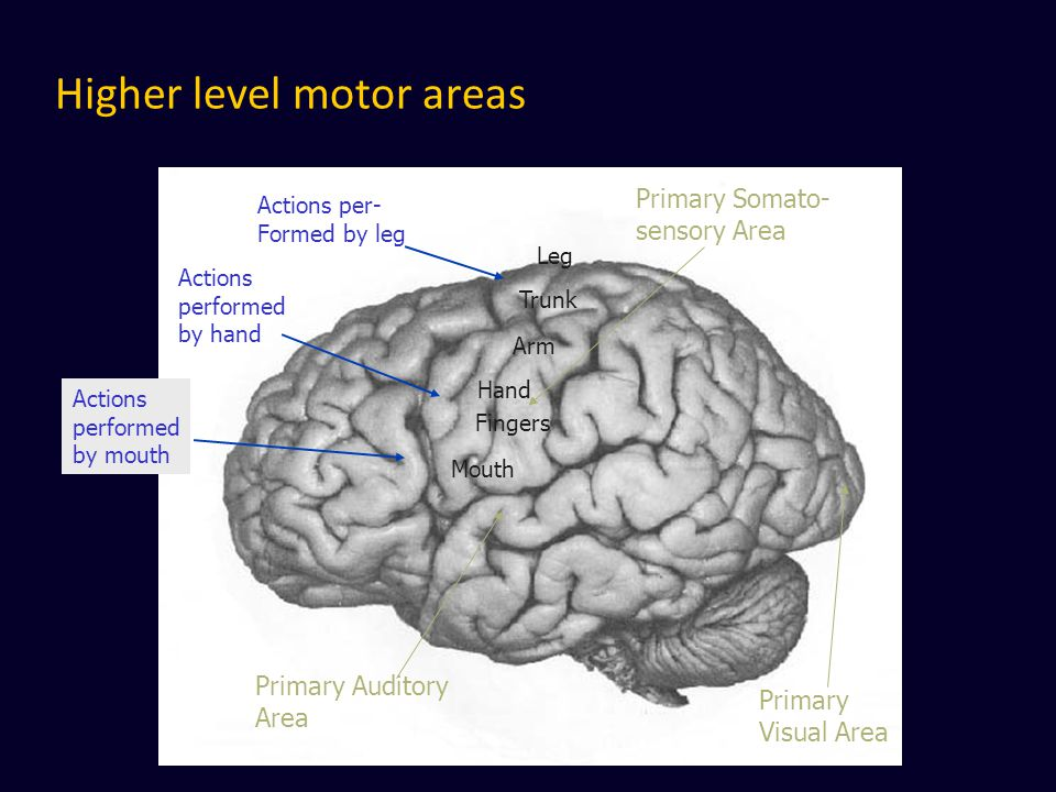 Higher level motor areas Primary Somato- sensory Area Actions performed by hand Primary Auditory Area Primary Visual Area Mouth Hand Fingers Arm Trunk Leg Actions per- Formed by leg Actions performed by mouth