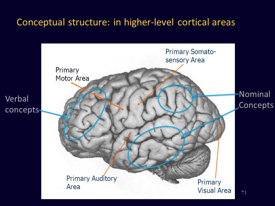 Primary Somato- sensory Area Primary Motor Area Primary Auditory Area Primary Visual Area 71 Conceptual structure: in higher-level cortical areas Verbal concepts Nominal Concepts
