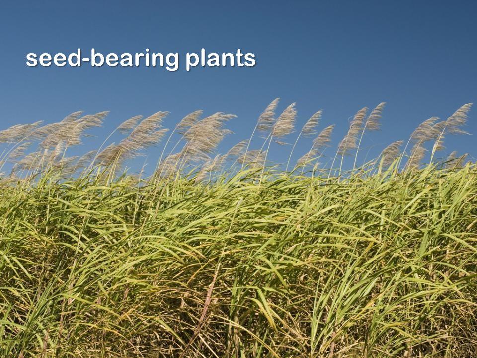 seed-bearing plants