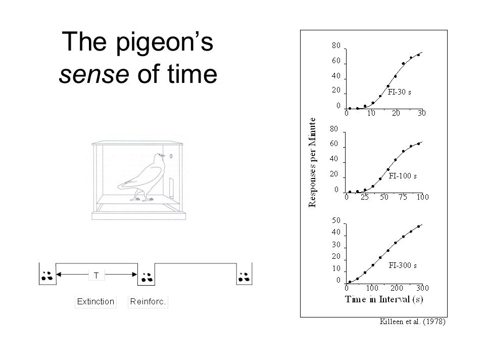 The pigeon's sense of time