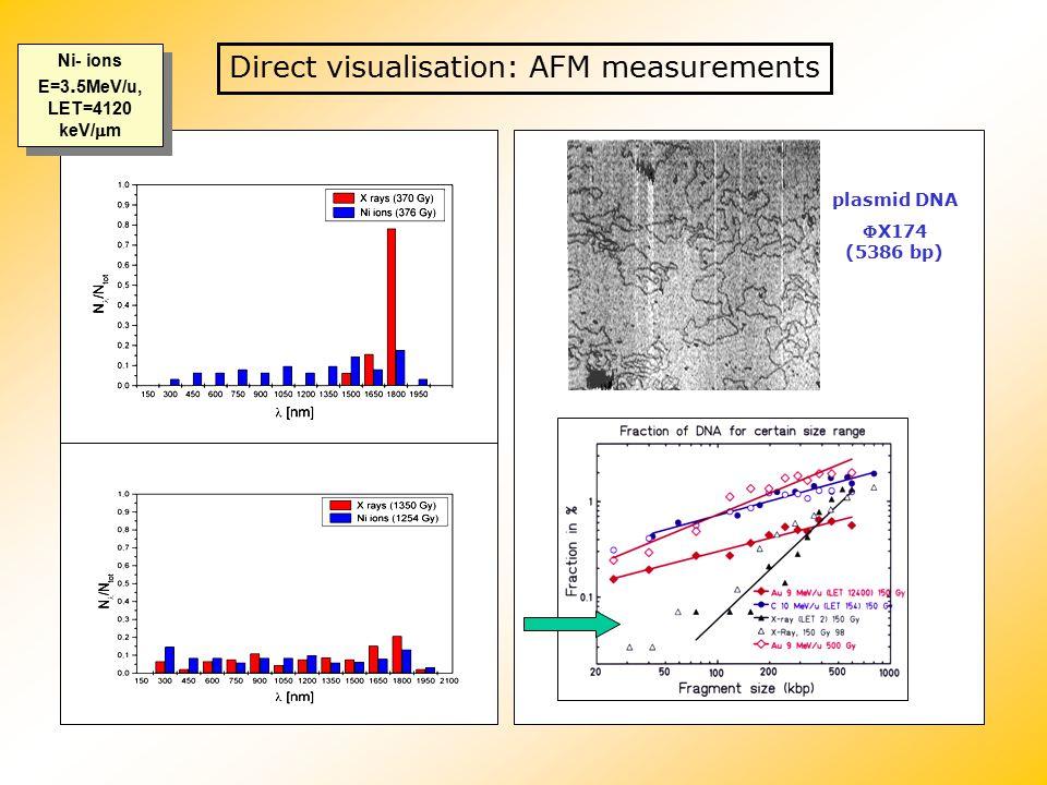 Direct visualisation: AFM measurements Ni- ions E=3. 5MeV/u, LET=4120 keV/  m plasmid DNA X174 (5386 bp)