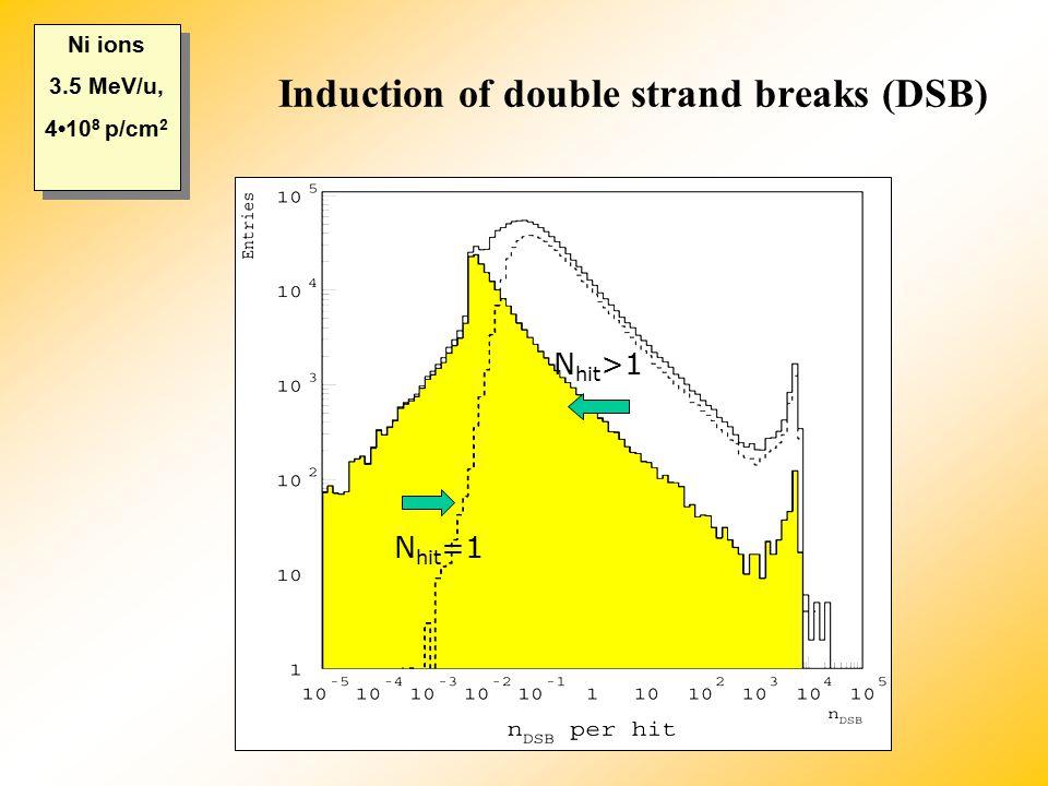 Induction of double strand breaks (DSB) N hit =1 N hit >1 Ni ions 3.5 MeV/u, 410 8 p/cm 2 Ni ions 3.5 MeV/u, 410 8 p/cm 2