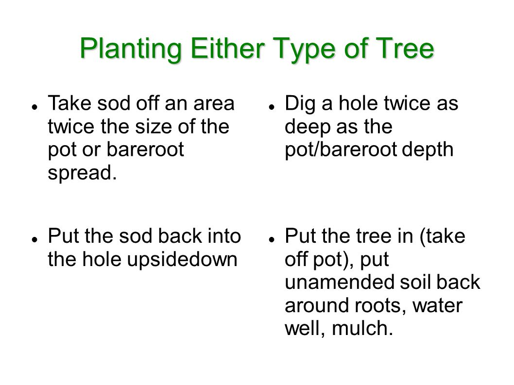 Planting Either Type of Tree Take sod off an area twice the size of the pot or bareroot spread.