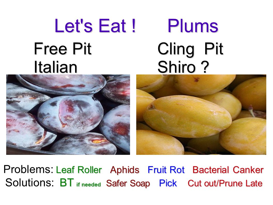 Let s Eat . Plums Free Pit Italian Cling Pit Shiro .