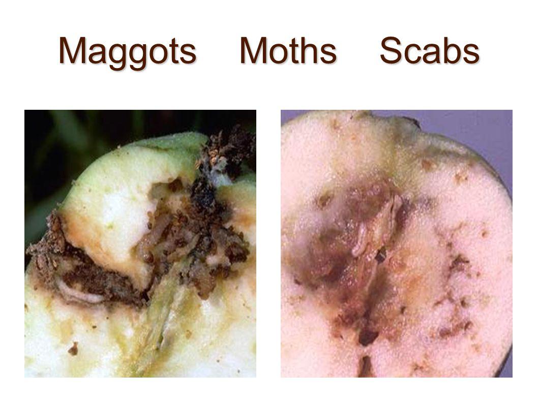 Maggots Moths Scabs