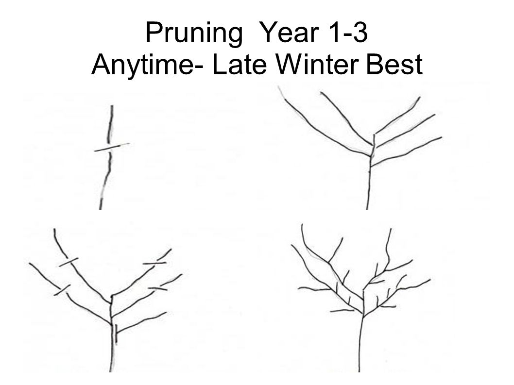 Pruning Year 1-3 Anytime- Late Winter Best