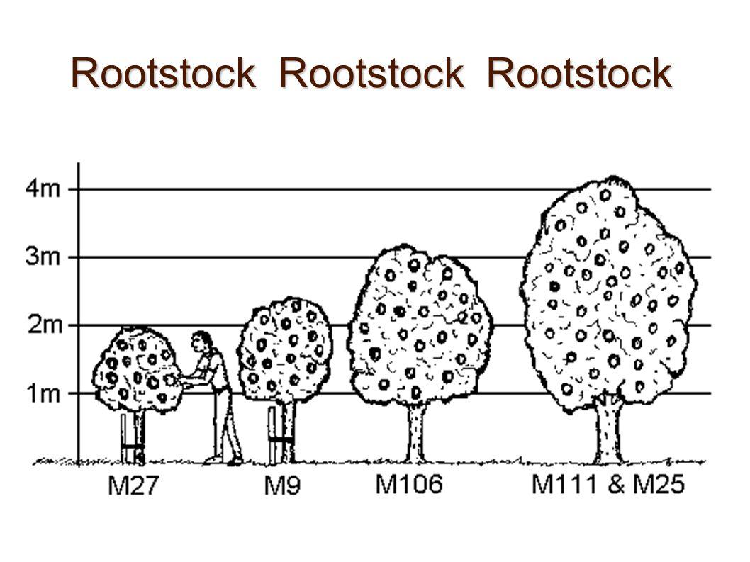 Rootstock Rootstock Rootstock