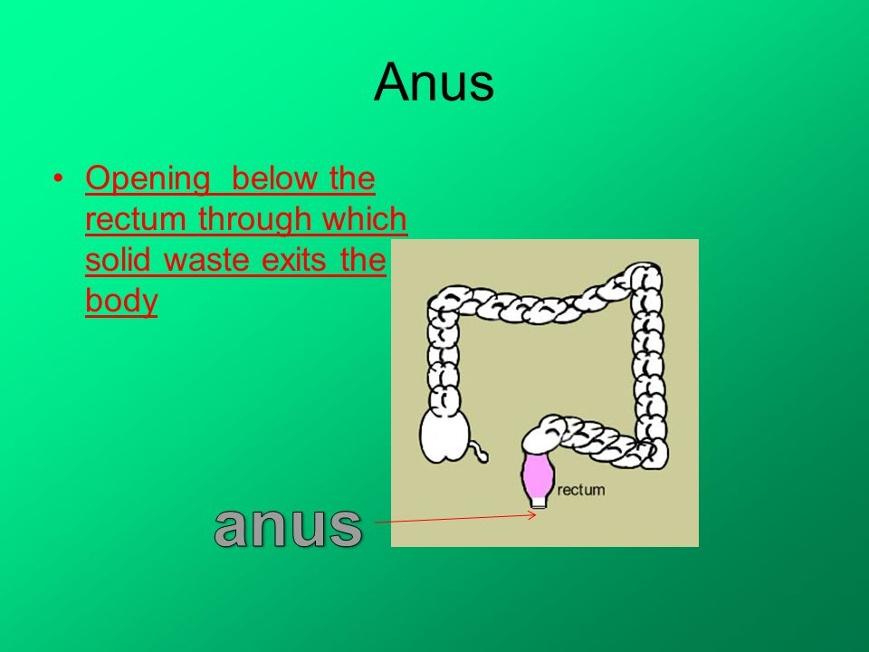 Anus Opening below the rectum through which solid waste exits the body