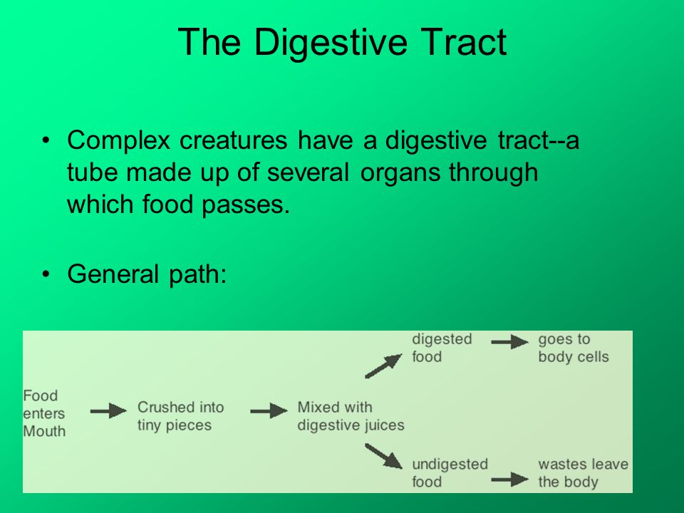 The Digestive Tract Complex creatures have a digestive tract--a tube made up of several organs through which food passes.