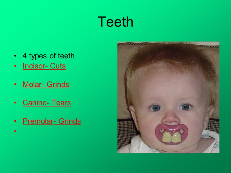 Teeth 4 types of teeth Incisor- Cuts Molar- Grinds Canine- Tears Premolar- Grinds
