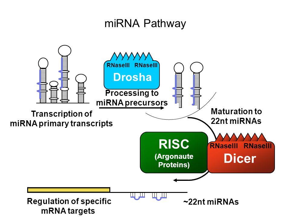 RISC (Argonaute Proteins) RNaseIII Dicer Maturation to 22nt miRNAs Regulation of specific mRNA targets ~22nt miRNAs Transcription of miRNA primary tra